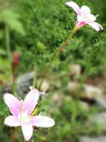 サフランモドキ🌸の画像(ピンク色の花に関連した画像)