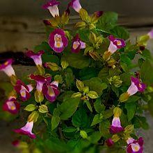 トレニア🌸(紫)の画像(レアに関連した画像)