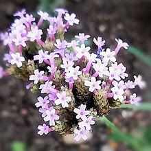三尺バーベナ🌸(薄紫色)の画像(実写に関連した画像)