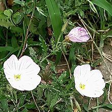 昼咲き月見草の画像(大切に関連した画像)