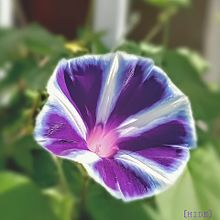 朝顔🏵️(紫)の画像(あさがおに関連した画像)