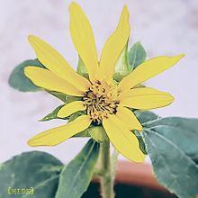 ミニ咲きひまわり🌻(鉢植え)の画像(ひまわりに関連した画像)