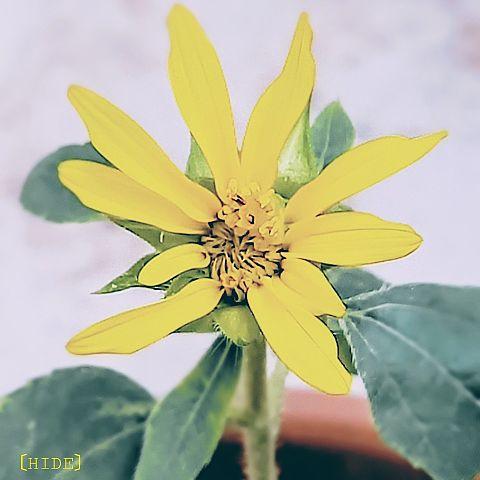 ミニ咲きひまわり🌻(鉢植え)の画像 プリ画像