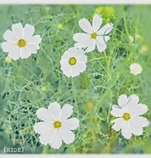 コスモスの画像(秋桜に関連した画像)