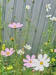 秋桜。の画像(コスモスに関連した画像)