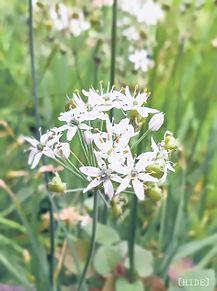 ニラの花。 プリ画像