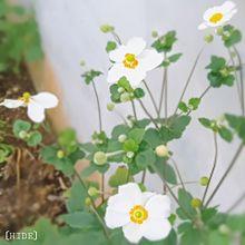 秋明菊。 プリ画像