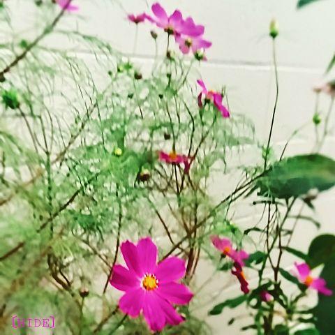秋桜。の画像 プリ画像
