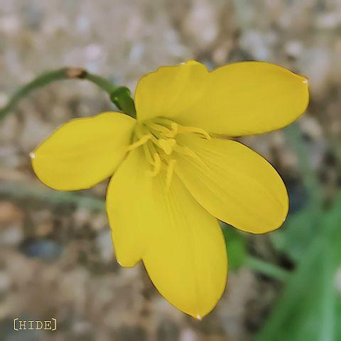 ゼフィランサス(黄色)の画像 プリ画像