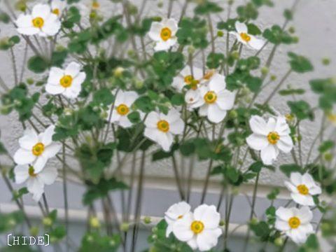 秋明菊。の画像(プリ画像)