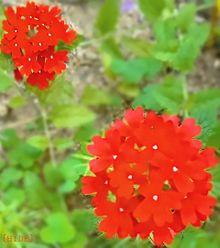 バーベナ(赤) プリ画像