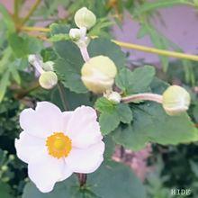 花壇の秋明菊の画像(実写に関連した画像)