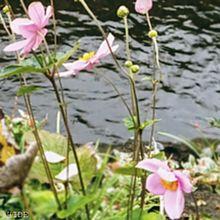 秋明菊(薄桃) プリ画像