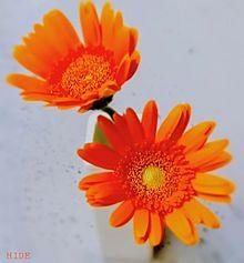 切り花(ガーベラ) プリ画像