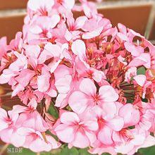 ゼラニウム(ピンク) プリ画像