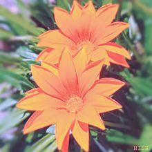ガザニア(黄花) プリ画像