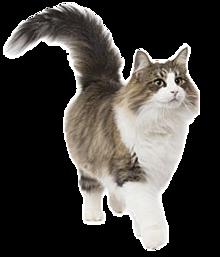 猫の画像(#ノルウェーに関連した画像)