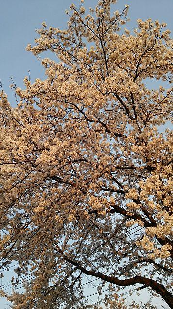 桜×夕焼けの画像(プリ画像)