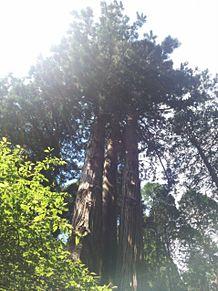 御岩神社の三本杉③パワースポットの画像(パワースポットに関連した画像)