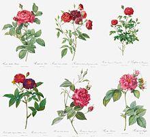 薔薇の絵画  写真右下のハートを押してねの画像(絵画に関連した画像)