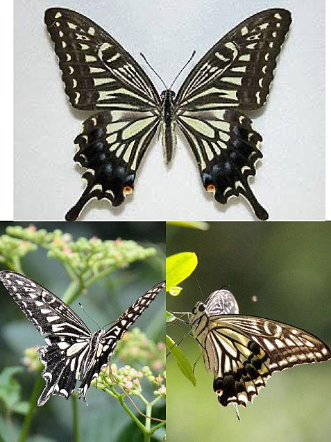 蝶の画像(プリ画像)