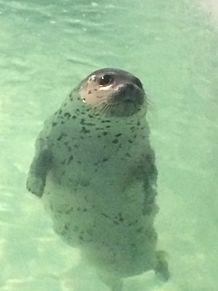 加茂水族館のアザラシの画像(プリ画像)