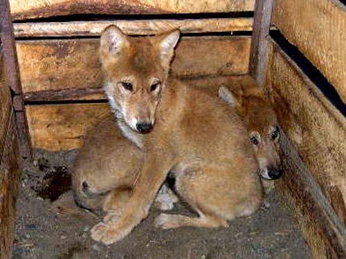 ニホンオオカミの画像 p1_10