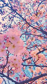 桜🌸保存はポチ! プリ画像