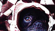 フレンチブルドックの画像(フレンチに関連した画像)