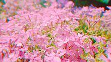 芝桜の画像(気軽にに関連した画像)
