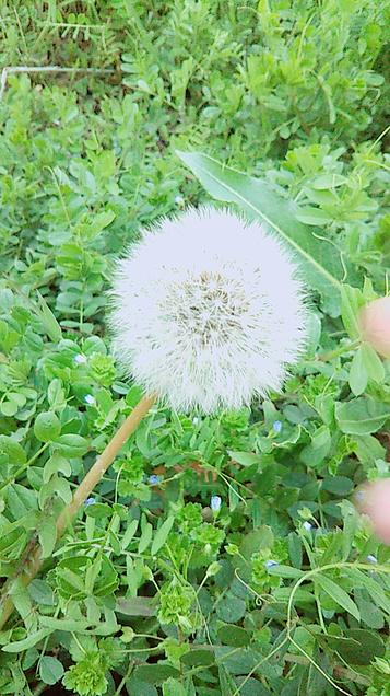 季節外れの綿毛の画像(プリ画像)