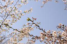 桜の画像(一眼レフに関連した画像)