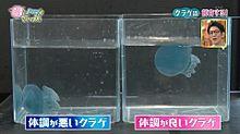 海月クラゲくらげ プリ画像