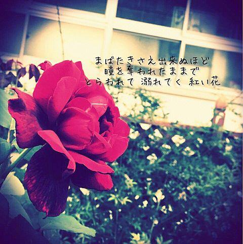 紅い花の画像(プリ画像)