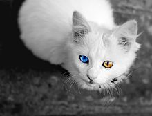 子猫 オッドアイの画像(白猫 オッドアイに関連した画像)