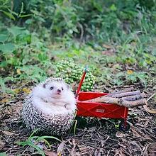 ハリネズミの画像(かわいい ハリネズミに関連した画像)
