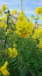 菜の花の画像(景色に関連した画像)