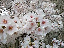 桜 プリ画像