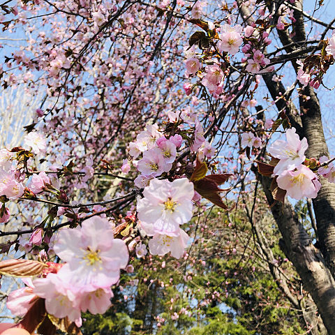 桜🌸の画像(プリ画像)