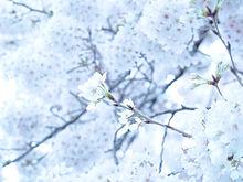 桜の画像(エアリーに関連した画像)
