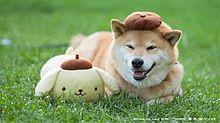 カワイイリラックマ、柴犬です。の画像(プリ画像)
