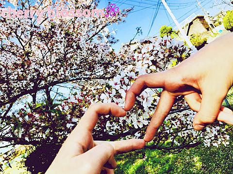 cherry blossoms🌸の画像(プリ画像)