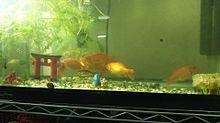 金魚の画像(金魚に関連した画像)