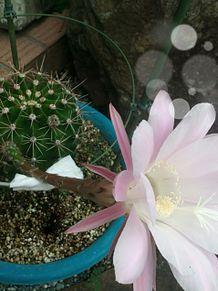 可愛いお花。サボテンのはな プリ画像