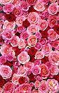 薔薇尽くし プリ画像