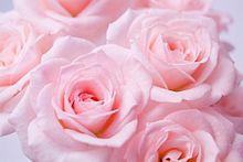 薔薇の画像(待受/待ち受け/壁紙/素材に関連した画像)