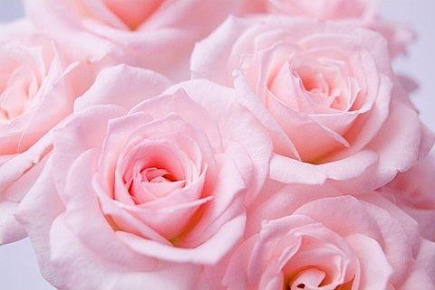 薔薇の画像 プリ画像