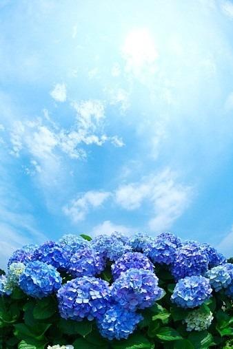 紫陽花2の画像(プリ画像)