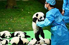 机の上にゴロゴロと転がる赤ちゃんパンダ達の画像(笑えるに関連した画像)