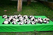 机の上にゴロゴロと転がる赤ちゃんパンダ達の画像(プリ画像)